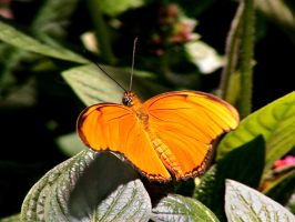 Orange Butterfly by AtomicBrownie
