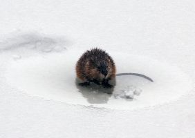 Muskrat on ice by sgt-slaughter