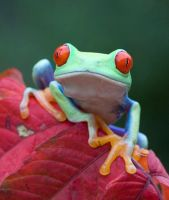 Frog portrait by AngiWallace