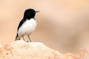 hume's wheatear model by ahmedalali