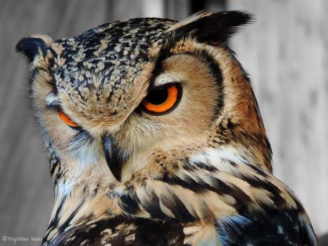 Bubo bengalensis by Caledonia87