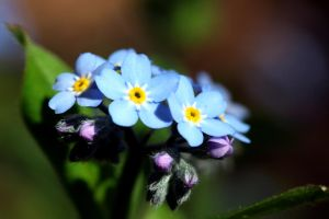 Myosotis by tortagel