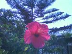 hibiscus and pine by Maleiva