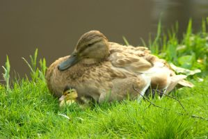 Mother Duck and duckling 1 by steppeland