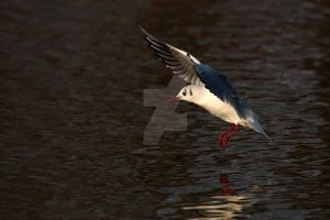 Black-headed Gull 2 by swissnature