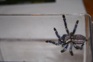 Poecilothera Metallica by Irms