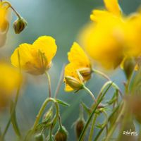 yellow flowers by rdalpes