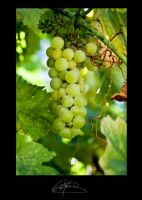 Grapes by CLCPhotography