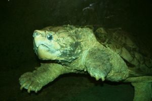 Alligator Snapping Turtle by GeuxLSUTigers