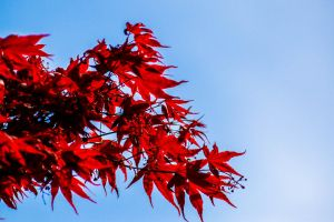 Red maple by Budeltier