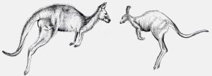 Kangaroo Sketches by MaestroAmN