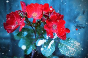 Roses by keillly