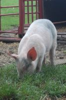 Stock 398 - Pig by pink-stock