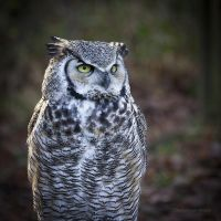 Great Horned Owl by dominique-merot