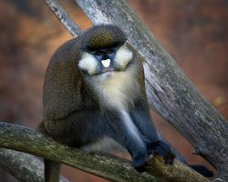 Spot-nosed Monkey by DeniseSoden