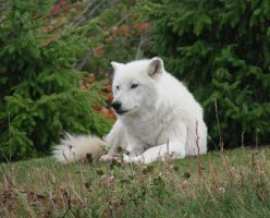 October Days - Arctic Wolf by roamingtigress