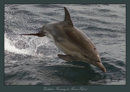 Dolphin Crossing to Maria Is. by eehan