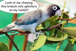 Papao chewing guava branch by emmil