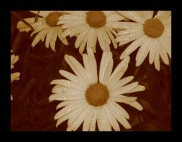 Daisies by Cheerychic