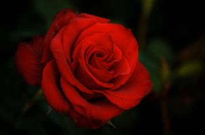 Rose by NorthBlue
