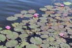 Pink water lily flowers by Henu96
