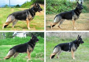 German Shepherd Dog - Stacked Comparison by petrichore
