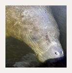 portrait of a manatee by 91stang