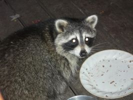 Giant Raccon on Our porch!!!! by Anime210freak