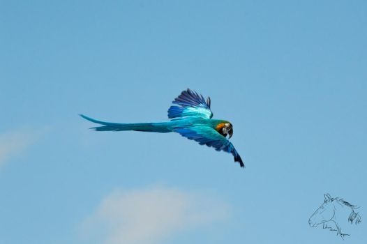 Blue-and-yellow macaw by LilianvH