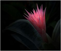 NIGHT BLOOMING BROMELIAD by THOM-B-FOTO