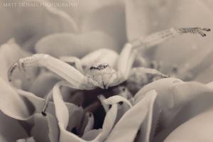 Crab Spider BW by mattTIDBALL