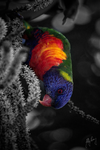 Lorikeet. Probably. by lucanus43