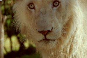 Lion's eyes by Pursuit-of-Happiness