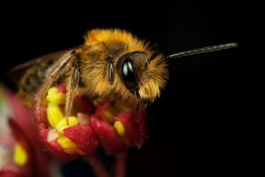 Resting Miner Bee by Alliec