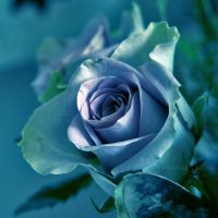 Poetry of a Blue Rose by WhiteBook
