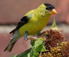 American Goldfinch by parallaxadjustable