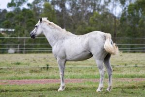 Dn pony white standing side view by Chunga-Stock