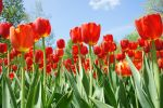 Tulips Galore by Siartha