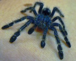 Baby Tarantula by Son-of-Italy