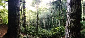 Saddle Mountain Forest by Walden-Photography