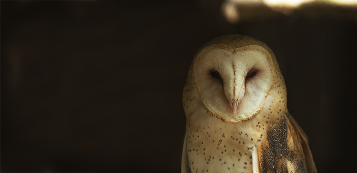 Barn Owl by Kintarotpc