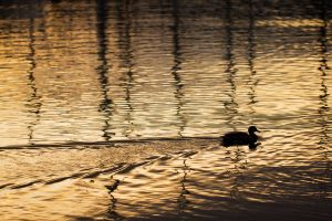 Melodramatic Mallard by Fauxtographique