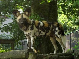 African Wild Dog 03 by animalphotos