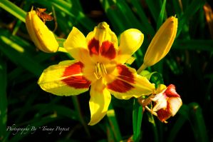 Yellow and Red Daylily 8270 by TommyPropest-Candler