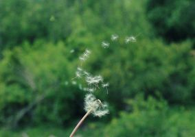Pusteblume - Blowball by NoRainbowWithoutRain