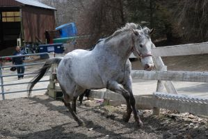 Appaloosa 22 by Spotstock