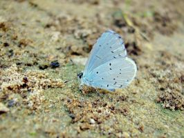 Blue butterfly by Zsurzsi