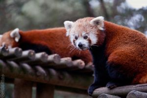 Cute Firefox... by Seb-Photos