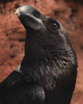 Portrait of a White-necked Raven by Canislupuscorax