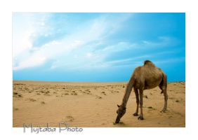 Arabian Camel by MujtabaSumain